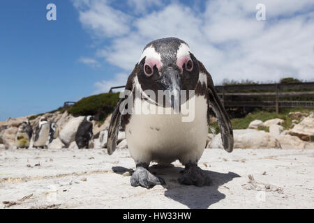 African Penguin close up, example of funny animals, Speniscus demersus, Bettys Bay, South Africa - Stock Photo