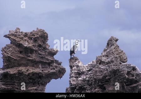 Pied Cormorant ((Phalacrocorax varius)) on the rocks, Kangaroo Island, South Australia. - Stock Photo