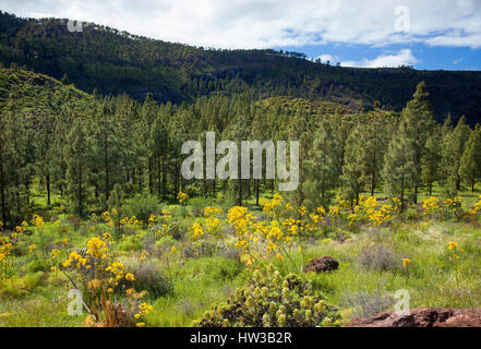 West Gran Canaria in February, hiking path through old pine forest around Integral Nature Reserve Inagua, giant - Stock Photo