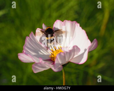 Bumble bee in flight; taking off from the centre of a pastel pink cosmos flower at Chenies Manor garden in August - Stock Photo