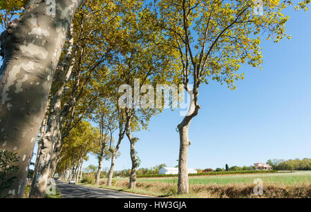 Wriggly tree trunks and green and golden foliage cast shadows across typical plane tree lined French road - Stock Photo