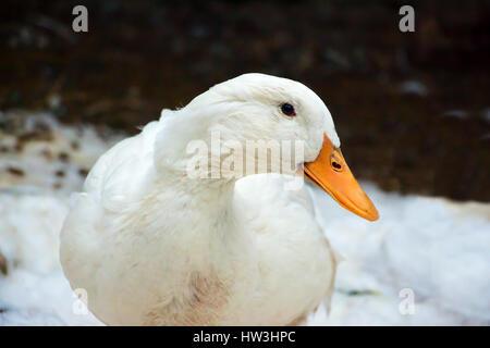 Real Pekin duck - Stock Photo