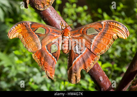 Attacus atlas. Benalmadena Butterfly Park, Costa del Sol, Malaga, Spain Europe - Stock Photo