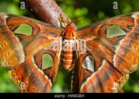 Attacus atlas. Benalmadena Butterfly Park, Costa del Sol, Malaga, Spain Europe - Stock Photo