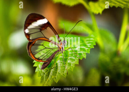 Greta oto butterfly. Glass butterfly or mirrors butterfly, transparent wings. Benalmadena Butterfly Park, Costa - Stock Photo