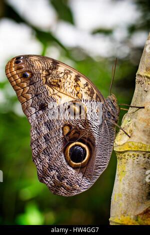 Owl Butterfly Caligo memnon. Benalmadena Butterfly Park, Costa del Sol, Malaga, Spain Europe - Stock Photo