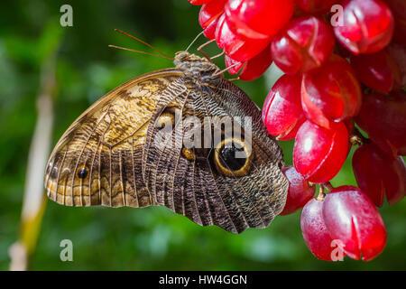 Owl Butterfly Caligo memnon. Benalmadena Butterfly Park, Costa del Sol, Malaga, Spain Europe - Stock Photo