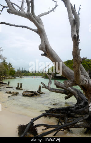 A fallen dead tree by a beach. More trees are visible in the background. The water is a light blue; the sky is cloudy. - Stock Photo