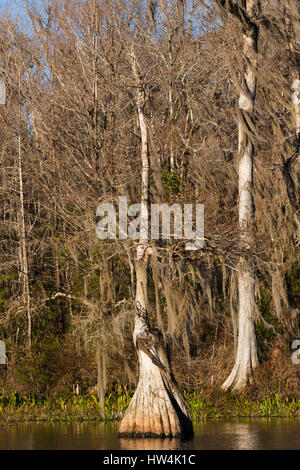 Bald Cypress (Taxodium distichum) on the Wakulla River, Wakulla Springs State Park, FL, USA - Stock Photo