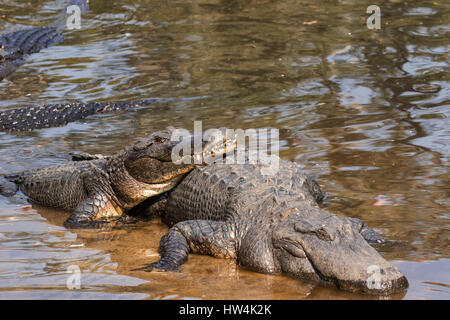 American Alligator (Alligator mississippiensis) resting on another, St Augustine, FL, USA - Stock Photo