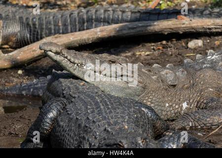 American Crocodile (Crocodylus acutus) resting on an alligator, St Augustine, FL, USA - Stock Photo