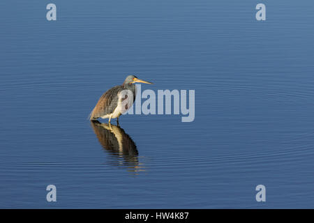 Tricolored Heron (Egretta tricolor) standing in water, St Marks National Wildlife Refuge, FL, USA - Stock Photo