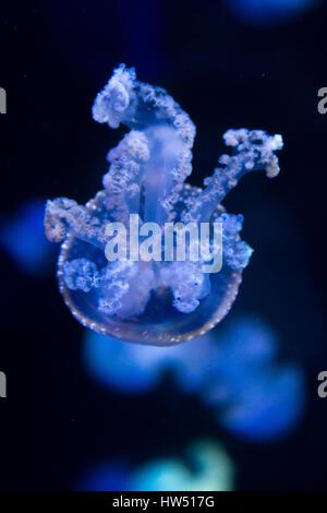 white spotted jellyfish - blue jellyfish - Stock Photo