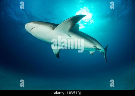 Caribbean Reef Shark, Carcharhinus perezii, Tiger Beach, Bahamas - Stock Photo