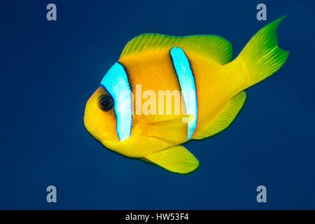Red Sea Anemonefish, Amphiprion bicinctus, Marsa Alam, Red Sea, Egypt