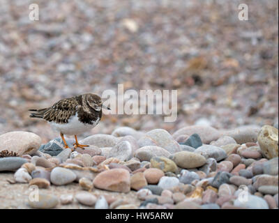Arenaria interpres. Ruddy turnstone in winter plumage. - Stock Photo