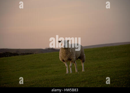 Lonely sheep on the field during sunset in Peak District National Park,Derbyshire,United Kingdom.Silent lamb. - Stock Photo