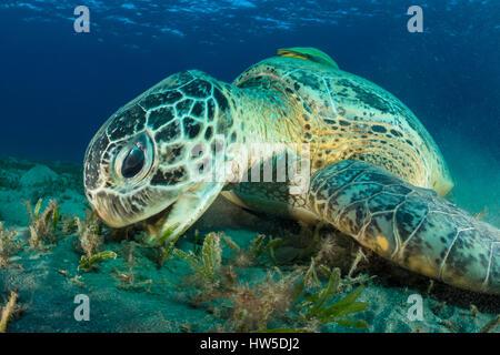 Feeding Green Sea Turtle, Chelonia mydas, Marsa Alam, Red Sea, Egypt - Stock Photo