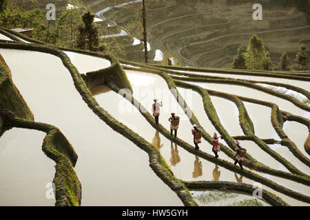 Five women working high up in the mountains walking on a green colored mountain rice field on a ridge between two - Stock Photo