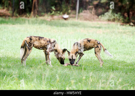 African wild dogs from Taronga Western Plains Zoo in Dubbo. - Stock Photo