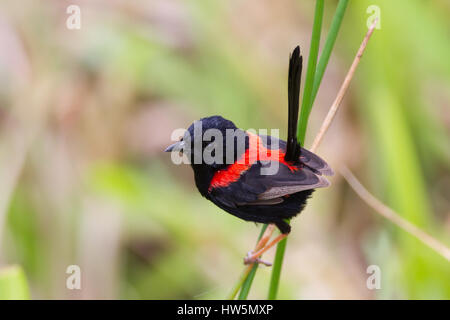 Red-backed Fairy-wren on its territory in a marsh at Atherton Tablelands, Queensland, Australia - Stock Photo