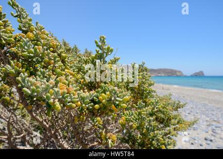 White bean caper (Xygophyllum album) bush growing on a beach, Xerokambos, Sitia, Crete, Greece, July. - Stock Photo