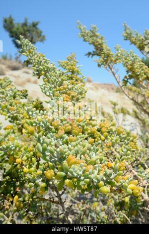 White bean caper (Xygophyllum album) bush growing on a beach with fruit capsules, Xerokambos, Sitia, Crete, Greece, - Stock Photo