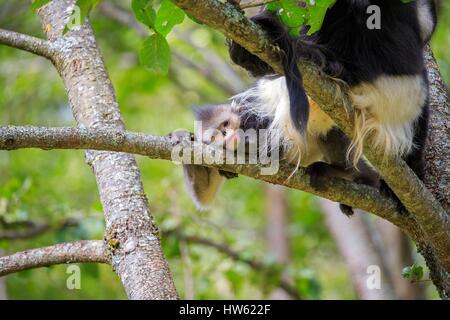 China, Yunnan province, Yunnan Snub-nosed Monkey (Rhinopithecus bieti), mating session - Stock Photo