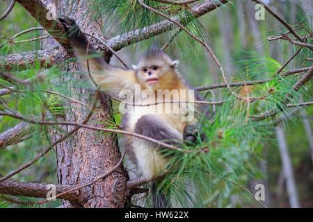 China, Yunnan province, Yunnan Snub-nosed Monkey (Rhinopithecus bieti), young in a tree - Stock Photo