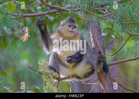 China, Yunnan province, Yunnan Snub-nosed Monkey (Rhinopithecus bieti), eating lichen - Stock Photo