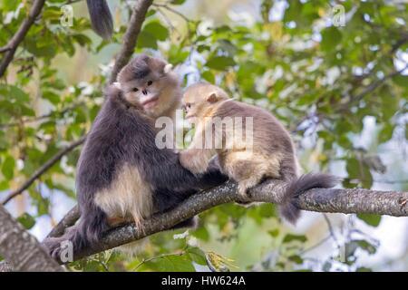 China, Yunnan province, Yunnan Snub-nosed Monkey (Rhinopithecus bieti), mother and baby - Stock Photo