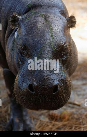 France, Gironde, Bassin d'Arcachon, La Teste, Zoo, pygmy hippo (Hexaprotodon liberiensis) - Stock Photo