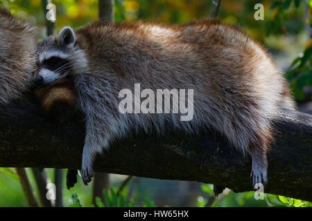 France, Gironde, Bassin d'Arcachon, La Teste, Zoo, raccoons (Procyon lotor Linnaeus) - Stock Photo