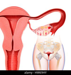 Illustration of the ovarian cycle. - Stock Photo