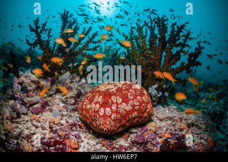 Indian Cushion Starfish at Coral Reef, Culcita schmideliana, South Male Atoll, Maldives - Stock Photo
