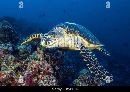 Hawksbill Sea Turtle, Eretmochelys imbricata, South Male Atoll, Maldives - Stock Photo