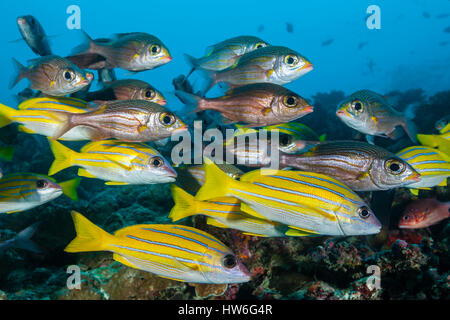 Shoal of Bluestripe Snapper and Glowspot Emperor, Lutjanus kasmira, Gnathodentex aurolineatus, Felidhu Atoll, Maldives - Stock Photo
