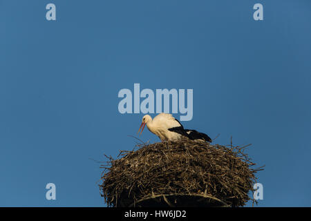 one natural white stork (Ciconia ciconia) nesting with blue sky - Stock Photo