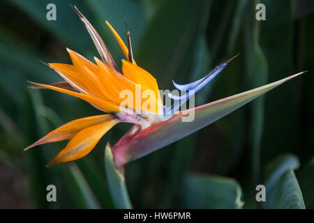A close up shot of an exotic bird of paradise flower on the tropical island of Kauai, Hawaii - Stock Photo