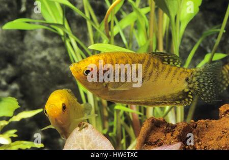 Goldener Fadenfisch, Goldgurami, Zuchtform von Gepunkteter Fadenfisch, Punktierter Fadenfisch, Blauer Fadenfisch, - Stock Photo