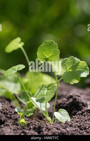 Moschus-Malve, Moschusmalve, Blatt, Blätter, Jungpflanze, Abelmoschus, Indische Hibiscus-Malve, Malva moschata, - Stock Photo
