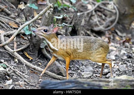 A timid Lesser Mouse Deer (Tragulus kanchil) on the forest floor in Kaeng Krachan in Western Thailand