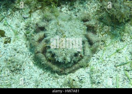European spider crab (Maja squinado) underwater in the Mediterranean Sea - Stock Photo