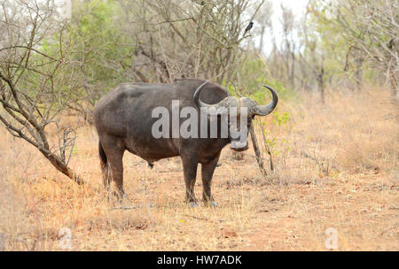 Large male cape buffalo in Kruger National Park in South Africa standing and looking toward the safari vehicle - Stock Photo
