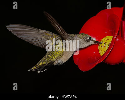 Ruby throated hummingbird hovers at feeder - Stock Photo