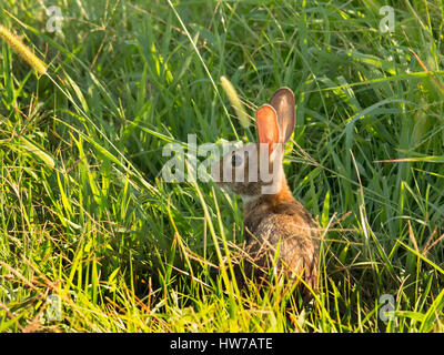 Small rabbit hiding in grass to avoid raptors - Stock Photo