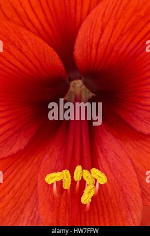 Open Amaryllis Flower Macro - Stock Photo