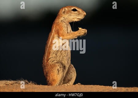 Feeding ground squirrel (Xerus inaurus), Kalahari desert, South Africa