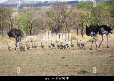 ostrich family with chicks - Stock Photo