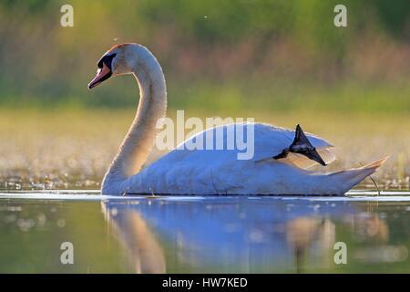 France, Ain, Dombes, Mute swan (Cygnus olor), adult - Stock Photo